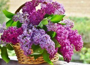 Bukiet z kwiatów bzu w koszyku wiklinowym